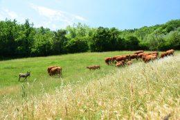 macelleria tolu mucche al pascolo