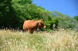 macelleria tolu pascolo mucca